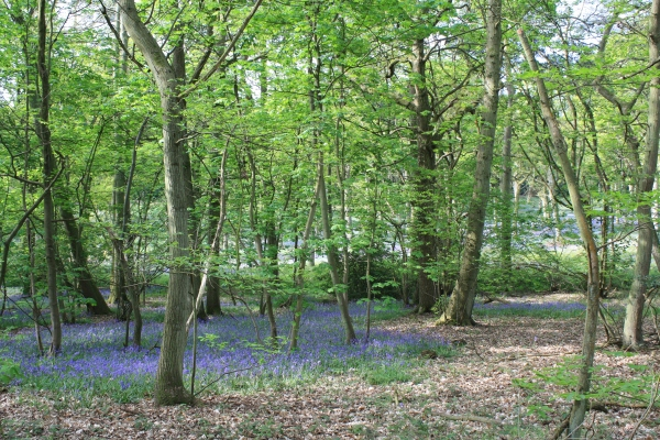Badby Woods Bluebells