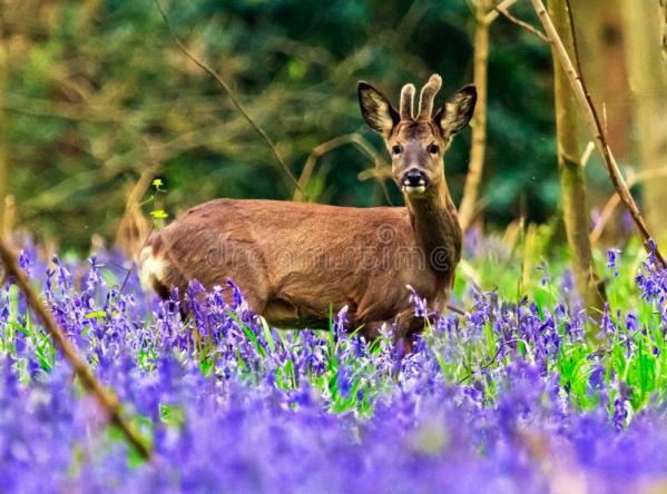 Badby Woods Roe Deer